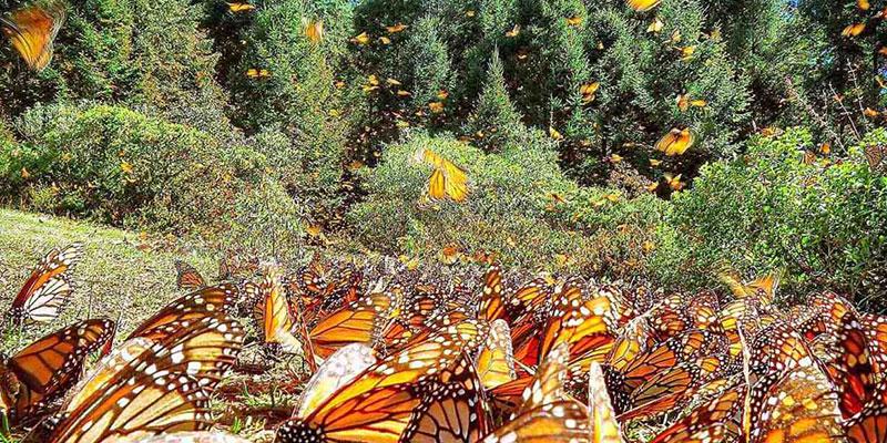 "Биосферный заповедник ""Бабочка Монарх"". Мичоака, Мексика"