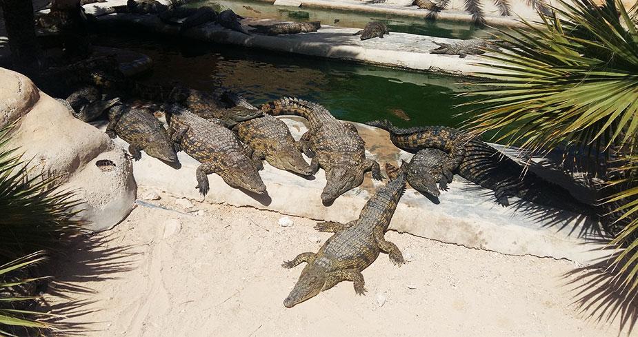 крокодиловая-ферма-остров-джерба