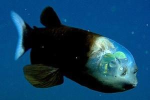 Прозрачноголовая рыба