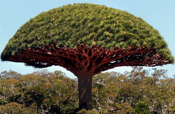 Драконово дерево, Сокотра. Йемен