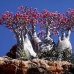 Бутылочное дерево. Сокотра