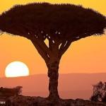 Драконовое дерево. Сокотра