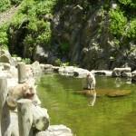 Обезьяний парк Джигокудани. Япония