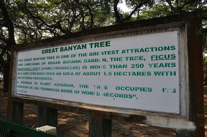 Великий баньян — дерево с самой большой в мире площадью кроны
