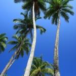 Королевская пальма. Национальный парк Александра Гумбольдта. Куба