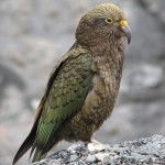 Птица реа - гора Кука. Новая Зеландия