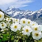 Лилии горы Кука. Новая Зеландия