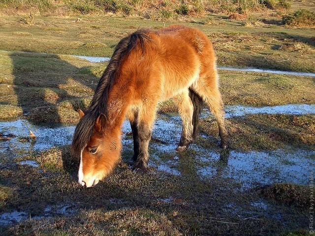 Пони в национальном парке Нью-Форест. Англия